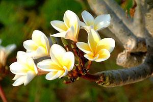Hẹn em một mùa hoa Thiên Sứ