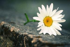 Hoa bên bờ - An Ni Bảo Bối