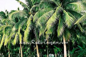 Bắt con Baka và vườn Dừa của Ngoại