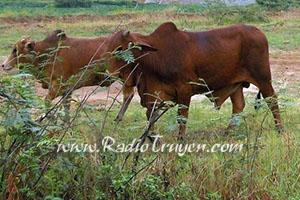 Choẽ bò - Đỗ Xuân Thu