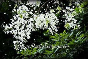 Chuyện tháng 3 chuyện hoa Sữa trắng