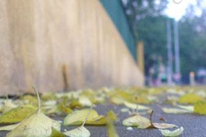 Có một mùa xà cừ đổ lá
