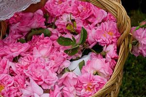 Hoa hồng xứ khác - Nguyễn Nhật Ánh