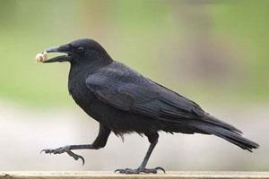 Vì sao lông quạ màu đen?